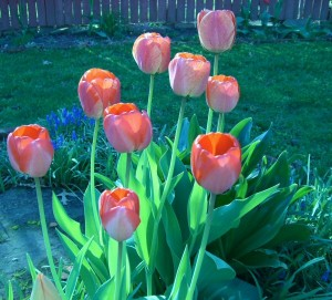 Hello, spring. Hello, my tulips. Hello, weeds.