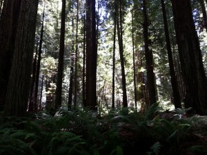 The sun peeking through a stand of redwoods (northern California)